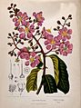 Pride-of-India, queen flower or pyinma (Lagerstroemia specio Wellcome V0042694.jpg