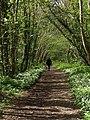 Primrose Line in Woodleigh Wood - geograph.org.uk - 1297136.jpg
