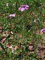 Primula farinosa - dolina Vrat 2.jpg