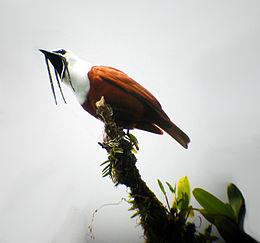 Procnias tricarunculata -Costa Rica -male-8-4c