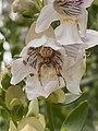Prostanthera striatiflora and spider.jpg