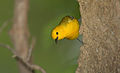 Prothonotary warbler 2.jpg