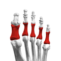 Proximal phalanges of left foot10 inferior view.png