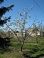 Prunus avium3.jpg