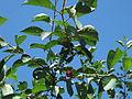 Prunus cerasus.jpg