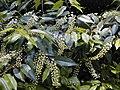 Prunus lusitanica.jpg