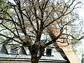 Przemyśl, mury z basztami - baszta za drzewem na dziedzińcu.JPG