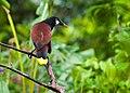 Psarocolius montezuma -near Rancho Naturalista, Cordillera de Talamanca, Costa Rica-8 (1).jpg