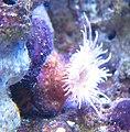 Pseudocorynactis, Waikiki Aquarium.JPG