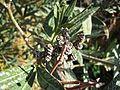 Pseudomonas syringae pv. savastanoi bacterial gall on Nerium Oleander, Coín, Spain.jpg