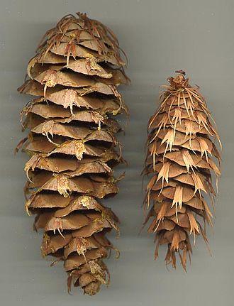 Pseudotsuga macrocarpa - Image: Pseudotsuga macrocarpa cone