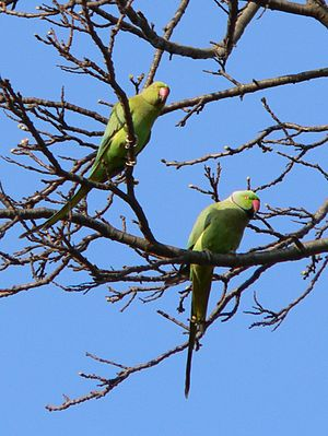 Feral parakeets in Great Britain - Feral parakeets in Kew Gardens