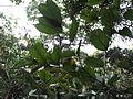 Pterocarpus santalinus-1-BSI-yercaud-salem-India.JPG