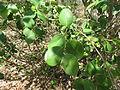Pterocarpus santalinus 05.JPG