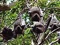 Pteropus alecto2.jpg