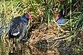 Pukeko pair at nest on the lake's edge.jpg