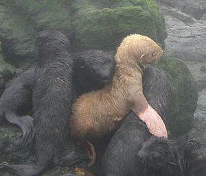 Northern fur seal - Fur seal pups, including one rare albino