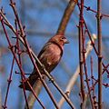 Purple House Finch.jpg
