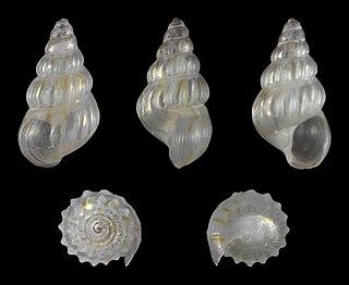 <i>Pusillina</i> Genus of gastropods