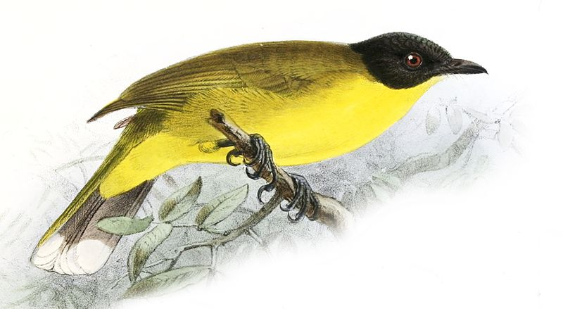 File:Pycnonotus melanicterus from A History of the Birds of Ceylon.jpg
