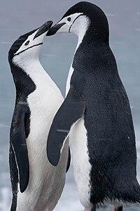 Pygoscelis antarcticus pair Laurie Island