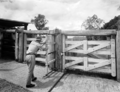 Queensland State Archives 1861 Beef cattle pastures and stock yards December 1955.png