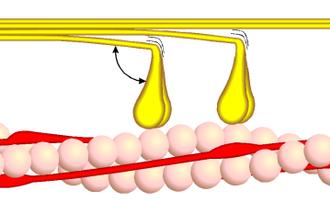 Myosin - Image: Querbrückenzyklus 1