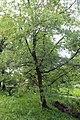 Quercus pyrenaica BotGardBln 20170610 F.jpg