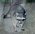 Raccoon10 19.jpg
