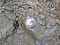 Rafinesquina ponderosa (fossil brachiopod) (Arnheim Formation, Upper Ordovician; Roaring Run, Warren County, Ohio, USA) 1 (43669198710).jpg