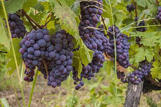 Grapes from the Orahovac valley Rahovec Grapes and Wine.JPG
