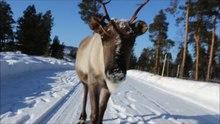 Datei:Rangifer tarandus - Inari 2013.ogv