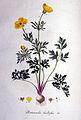 Ranunculus bulbosus — Flora Batava — Volume v1.jpg