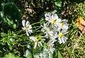 Ranunculus lyallii in Mount Cook NP 02.jpg