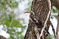 Red-billed Hornbill 2247170070.jpg