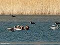 Red-crested Pochard (Netta rufina), Gadwall (Anas strepera) & Eurasian Coot (Fulica atra) (33645805233).jpg
