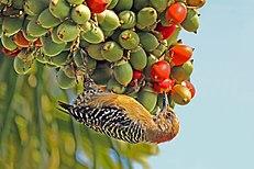 Red-crowned woodpecker (Melanerpes rubricapillus rubricapillus) female.jpg