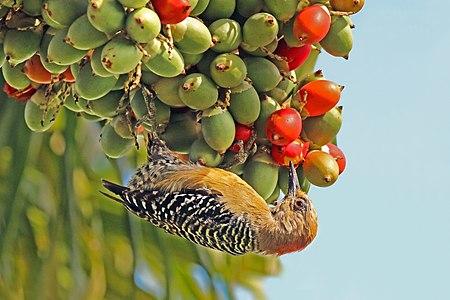 Female red-crowned woodpecker (Melanerpes rubricapillus rubricapillus) eating fruit