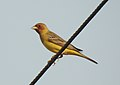 Red-headed Bunting Emberiza bruniceps Male by Dr. Raju Kasambe DSCN9056 (10).jpg