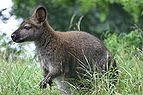 Red-necked wallaby.gk.jpg