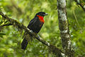 Red-ruffed Fruitcrow - Intervales NP - Brazil S4E9950 (12797581474).jpg