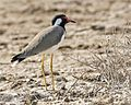 Red-wattled Lapwing (Vanellus indicus).jpg