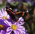 Red Admiral 3 (3916442638).jpg