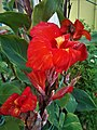 Red Canna Lily (3).jpg