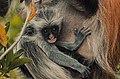 Red Colobus monkey,Zanzibar 7.jpg