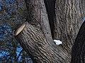 Red Oak (28051047809).jpg