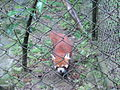 Red Panda in Padmaja Naidu Himalayan Zoo, Darjeeling, India.jpg