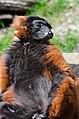 Red Ruffed Lemur (16867647128).jpg