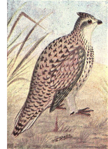 Reed-prairie-sharp-tailed.png