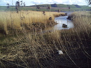 Reed (plant) - Reeds growing in saltmarsh in the estuary of the River Tay.